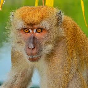 Monkey by Abdul Salim - Animals Other Mammals (  )