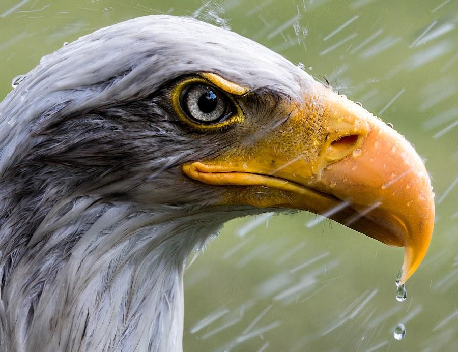 Bald Eagle in the rain by Renos Hadjikyriacou - Animals Birds (  )