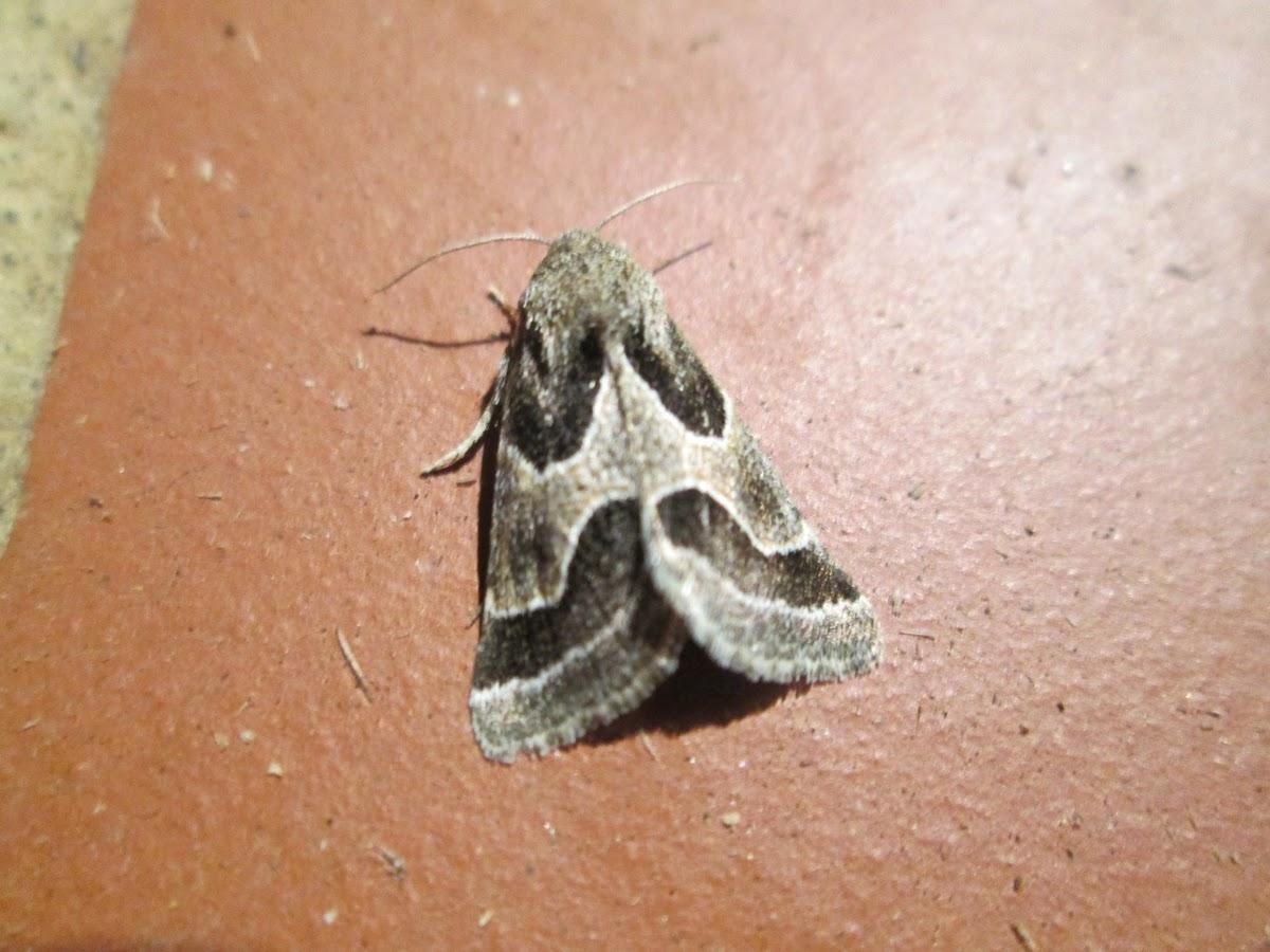 Ragweed Flower Moth