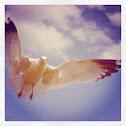 Laughing Gull - nonbreeding pic 2