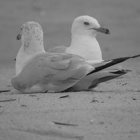 Monogulls by Tanya Washburn - Animals Birds ( sand, resting, monochrome, beach, gulls,  )