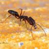 Trap jaw ants