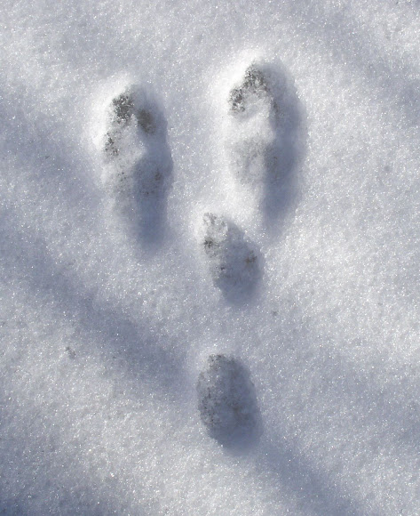 Snowshoe Hare (tracks) | Project Noah