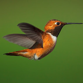 Hummingbird 2 by Sheldon Bilsker - Animals Birds ( bird, flight, nature, hummingbird, animal )