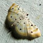 Crambidae, Spilomelinae