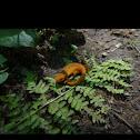 Eastern Newt (Juvenile)