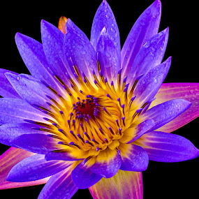 Lotus Glow by Emily James - Flowers Flower Arangements ( lotus; flower; black background; closeup,  )