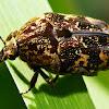 Mango scarab beetle