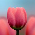 3D Tulip Live Wallpaper logo