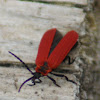 Golden Net-wing Beetle