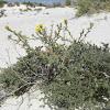 Gypsum herb