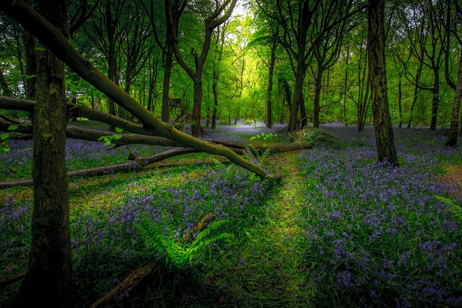 The Light in the Forest by Chris Barnes - Landscapes Forests ( canon, trees, rays of light, forest, landscape, light, bluebells,  )