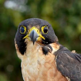 Shahin Falcon by Nitin Puranik - Animals Birds