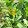 Sulphur butterfly laying eggs