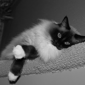 Relaxing by Rhonda Silverton - Black & White Animals ( ragdoll, cat, black and white, furry, black & white, white, black, , #GARYFONGPETS, #SHOWUSYOURPETS )