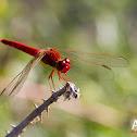 Scarlet Darter Male