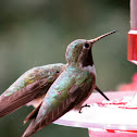Broad-tailed Humming Bird
