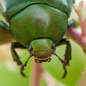Green Beetle by Jimmy Fang - Animals Insects & Spiders ( animals, bugs, nature, green, insects, beetle,  )