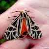Phyllira Tiger Moth