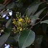 Arbol flores amarillas