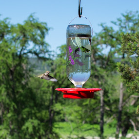 It's spring time in the country by Cliff Dowden - Animals Birds ( drinking, hummingbird, texas, springtime, birds, Spring, outdoors )
