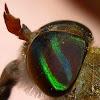 Horse-fly; Mutuca(Brazil)