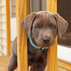 I am stuck by Dave Hollub - Animals - Dogs Puppies ( labrador retriever, labrador puppy, silver lab,  )