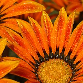 by Bharat Dudeja - Flowers Single Flower ( gazania, aster, daisy, flowers, water droplets, flower,  )