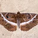 Noctuidae Moth