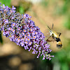 Hummingbird (Common Clear Wing) Moth