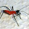 Assassin Bug - Nymph