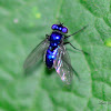 Blue Long-legged Fly