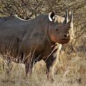 black rhinoceros or hook-lipped rhinoceros