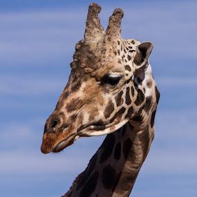 Baby Giraffe by Nicole Nichols - Animals Other Mammals ( zoo, giraffe, baby giraffe,  )