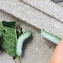 Hornworm caterpillar