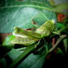 grasshoper