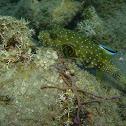 Striped-belly Pufferfish