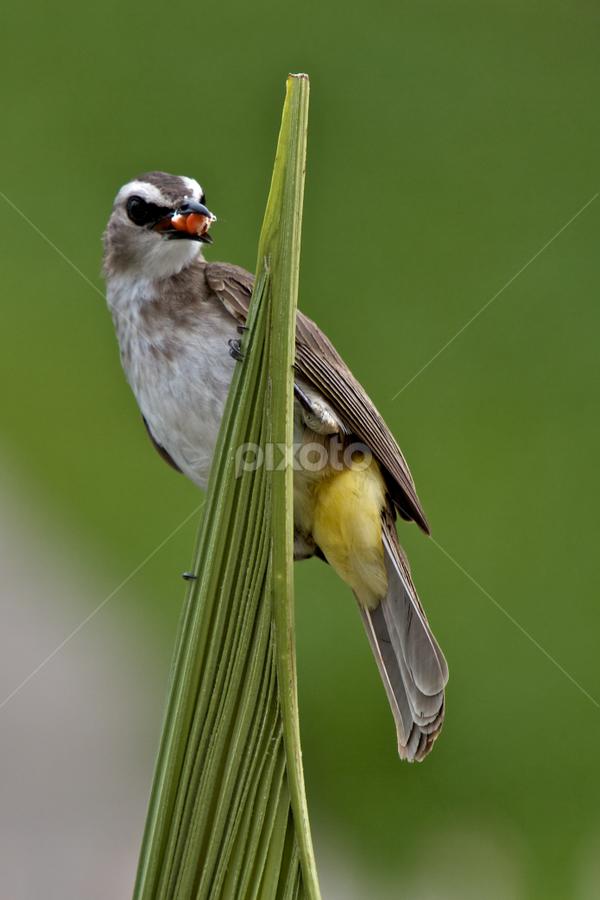Bulbus Bird  by Gary Bridger - Animals Birds ( birds of borneo, birds, tropical birds )
