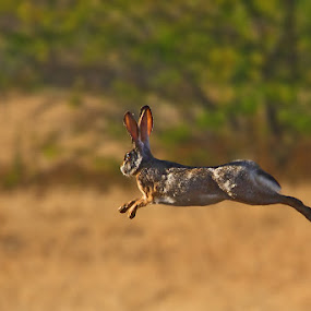 Run , The Indian hare (Lepus nigricollis) by Sharad Agrawal - Animals Other Mammals ( flight, nature, udaipur, rajasthan, the indian hare (lepus nigricollis), wildlife, india, rabit, leap )