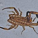 Scorpion  (Juvenile)