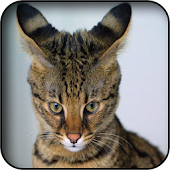 Savannah Cat Wallpapers