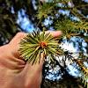 Norway Spruce / Gemeine Fichte
