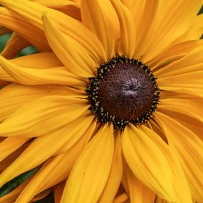 yellow pinwheel by Tracy Riedel-Dorsch - Flowers Single Flower ( yellow, flowers,  )