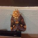 Citheronia Moth