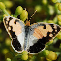 Blue-spotted Arab butterfly