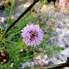 Pink Tassels/Faey's Prairie Clover
