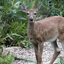 White Tail Deer / Fawn