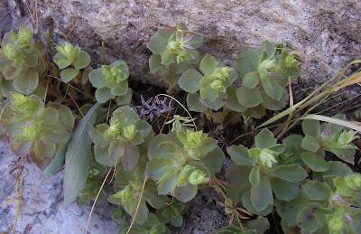 Sedum stellatum, Borracina spinosa