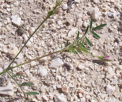 Onobrychis caput-galli, Cockscomb Sainfoin, cockshead sainfoin, Lupinella cresta di gallo