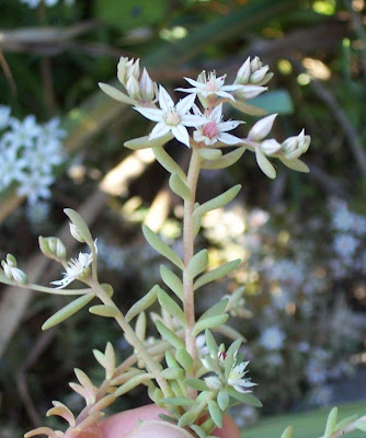 Sedum hispanicum, Borracina glauca, Spanish stonecrop